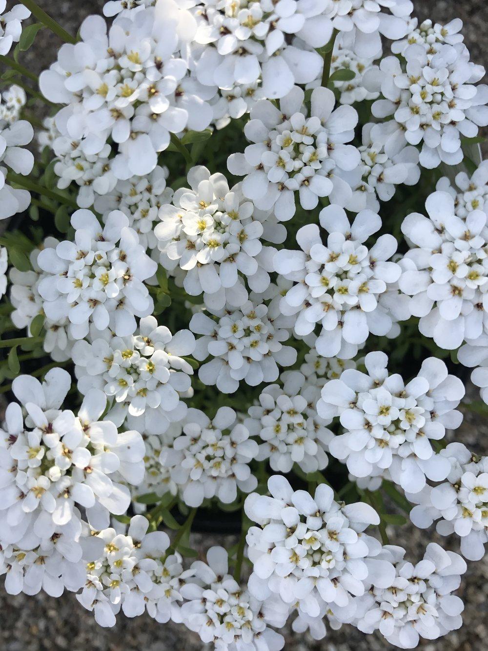 Iberis Alexander's White