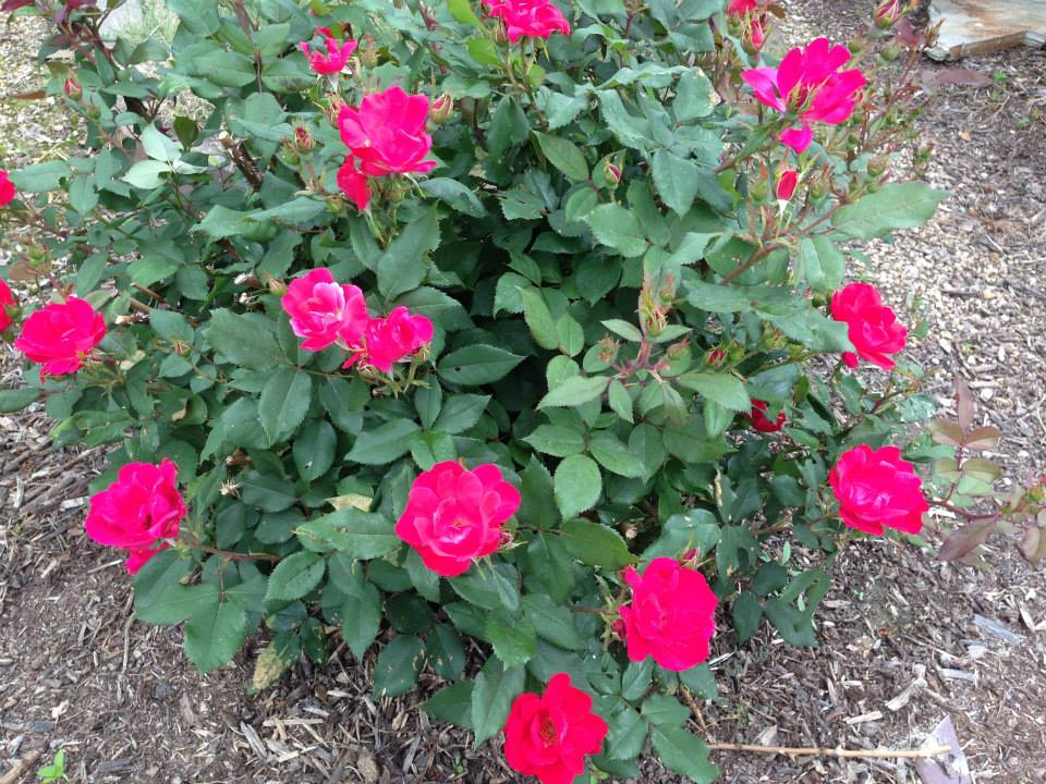 Rose Double Red Knock-Out