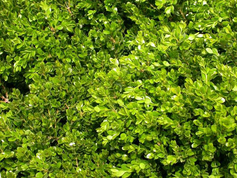 Buxus Green Gem