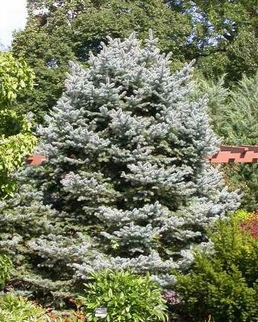Picea pungens Fat Albert