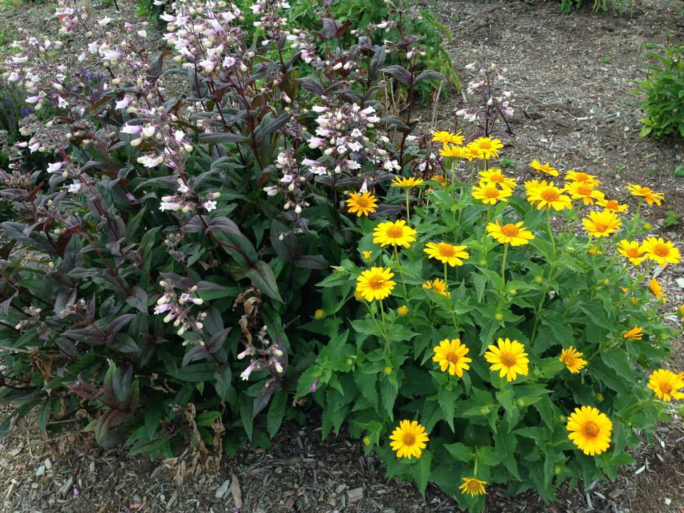 Penstemon & Heliopsis