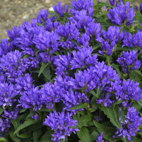 Campanula glomerata Genti Blue 'Allgentibl' PP24687 0002 low res.jpg