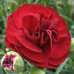 Dianthus Passion EC.jpg