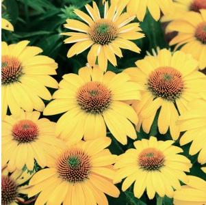 Echinacea Lemon Yellow Imp CH.png