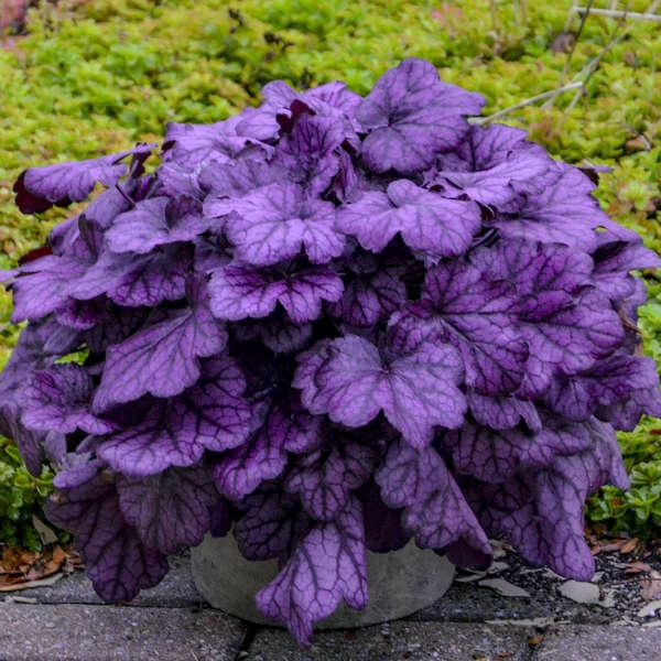 Heuchera 'Wild Rose' PP29923 CPBRAF 0002 low res.jpg