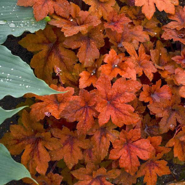 Heucherella 'Pumpkin Spice' PP29925 0002 low res.jpg