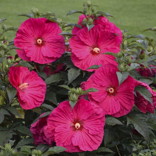 Hibiscus 'Summer in Paradise' PP28730 0001 low res.jpg