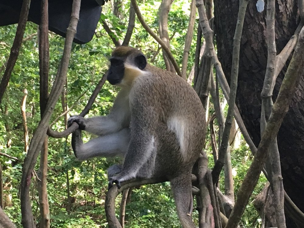 """The """"Green Monkey"""" lives all across Barbados"""