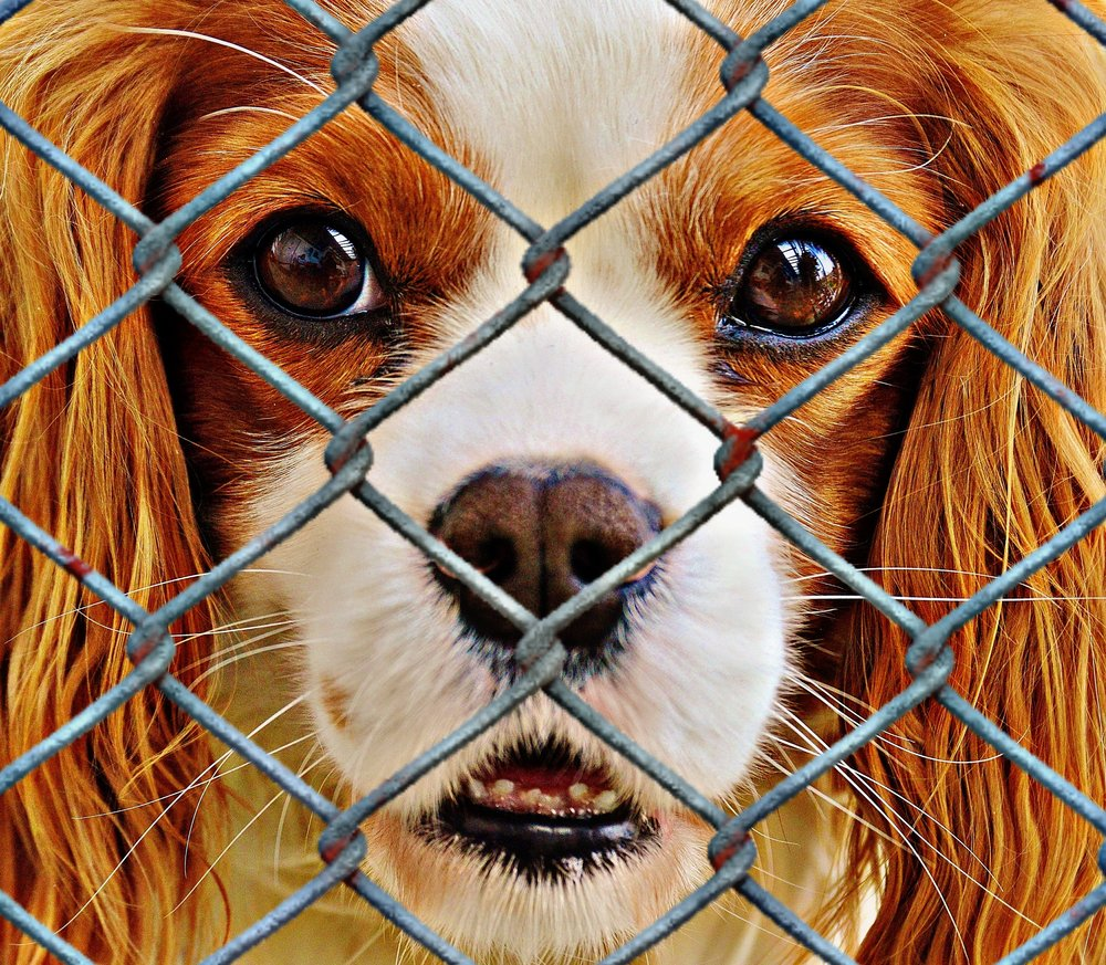 fence-sweet-puppy-dog-cute-mammal-833043-pxhere.com.jpg