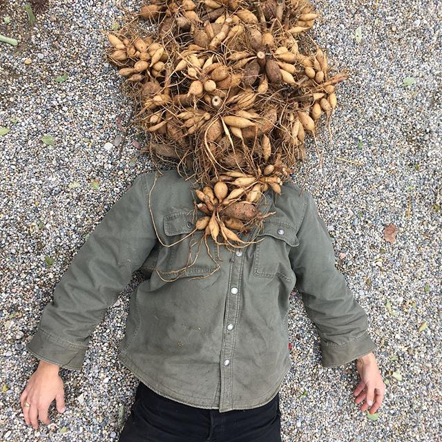 I had a dream last night. I was crushed under the weight of a thousand dahlia tubers. I awoke in a cold sweat. Clearly this was a subconscious representation of my fear of the monumental task before me: The Great Dahlia Dig. What do you do when you farm alone and are faced with a daunting seasonal task? Call on friend (and fellow solo-farmer) @marillafieldandflora to tap-in and lighten the load. Just as the Bushwhackers, The Heart Foundation, and The Mega Powers did before us, we got er done. The Great Dahlia Dig of 2018 is behind us. Another one for the record books ⭐️⭐️⭐️⭐️ . . #localflowers #farmfriends #miflowercoop #dahliadigging @wwf_the_federation_years #michiganflowers