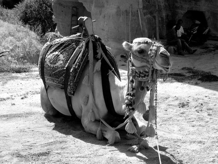 Camel_web.jpg