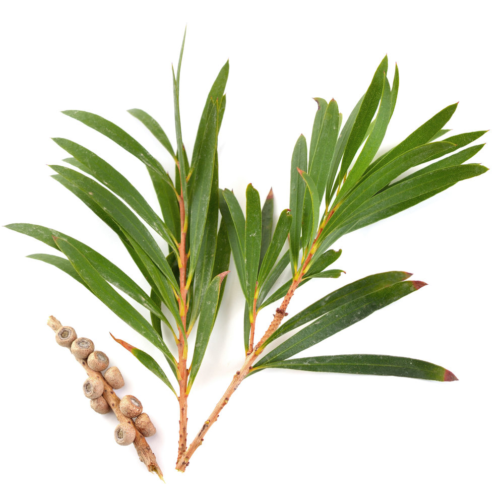 ingredient-tea-tree.jpg