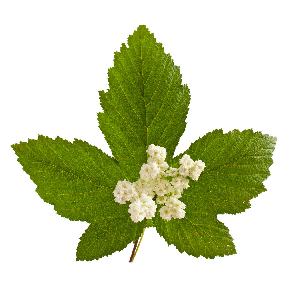 ingredient-salicylic-acid-meadowsweet.jpg