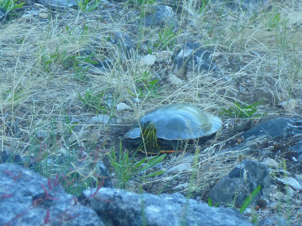 Copy of Turtle 1-19 Nesting June 4, 2016.JPG