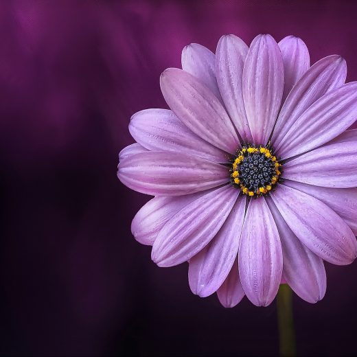 flower-purple-lical-blosso-520x520.jpg