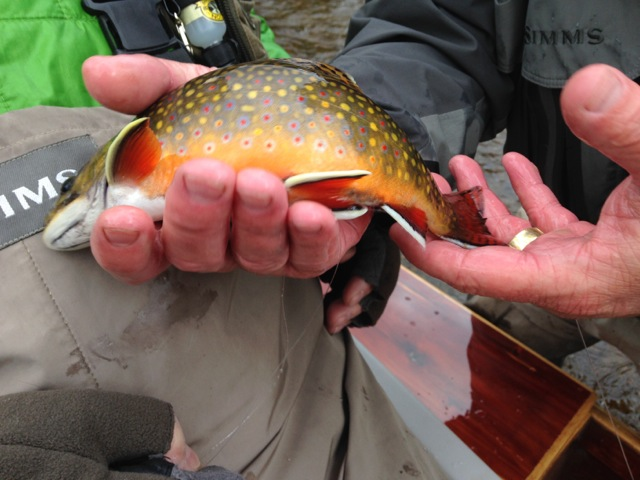 Hodgman Fall Brook Trout