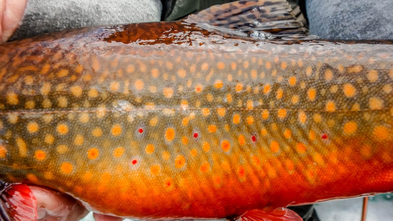 Fall-Brook-Trout.jpg