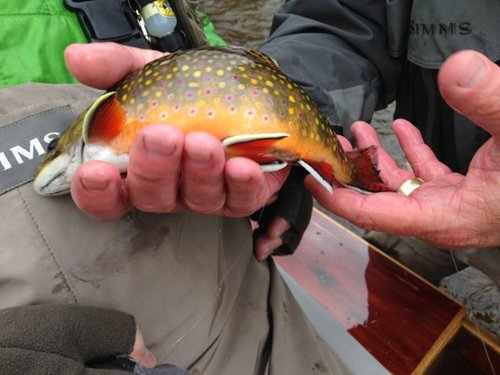 Hodgman-Fall-Brook-Trout.jpg