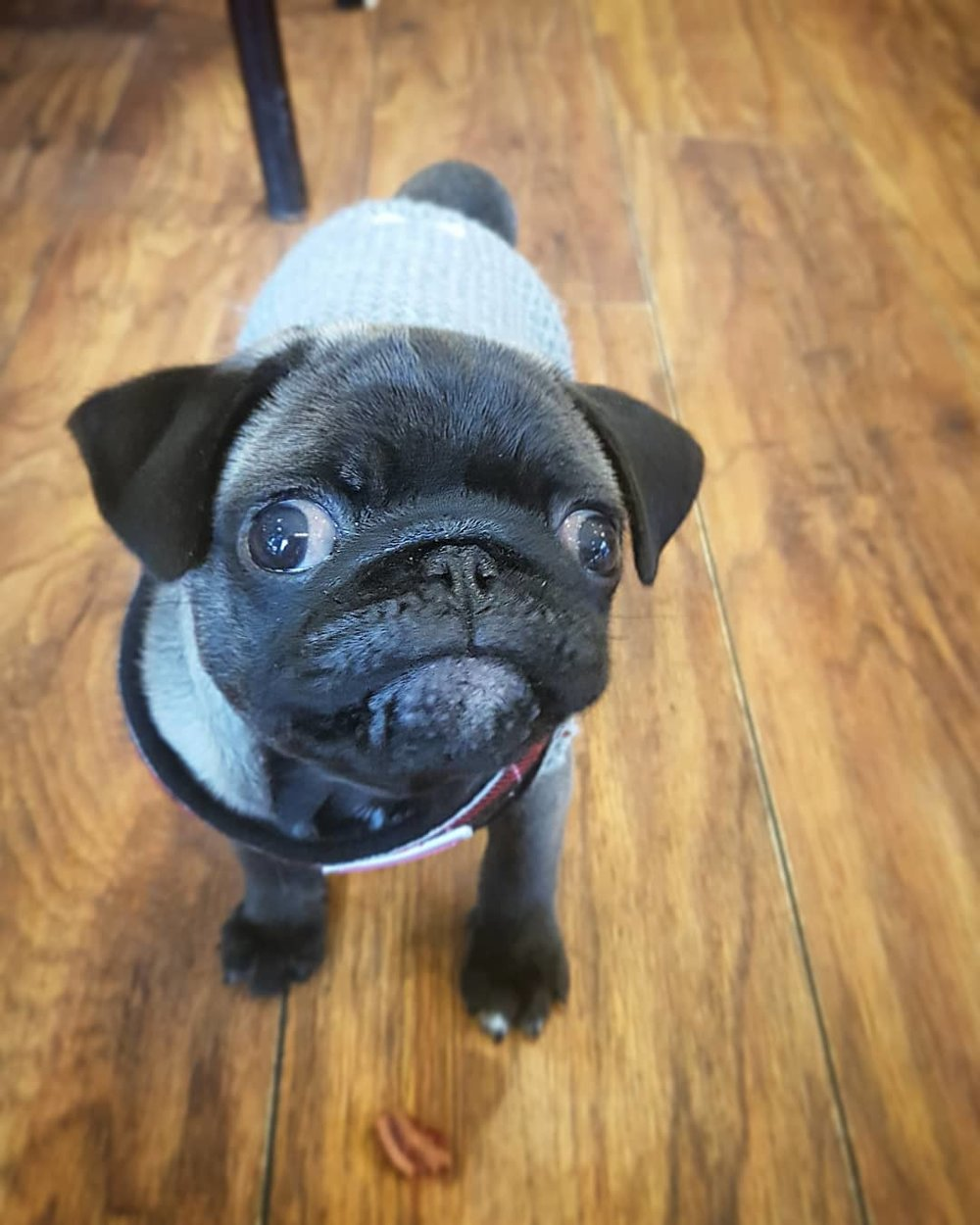 Doug the Adorable Pug came in to see us for the first time today. He didn't want to leave!