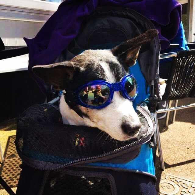 Jack. Quite possibly the coolest dog we're ever had in the cafe! 17 and rocking it!