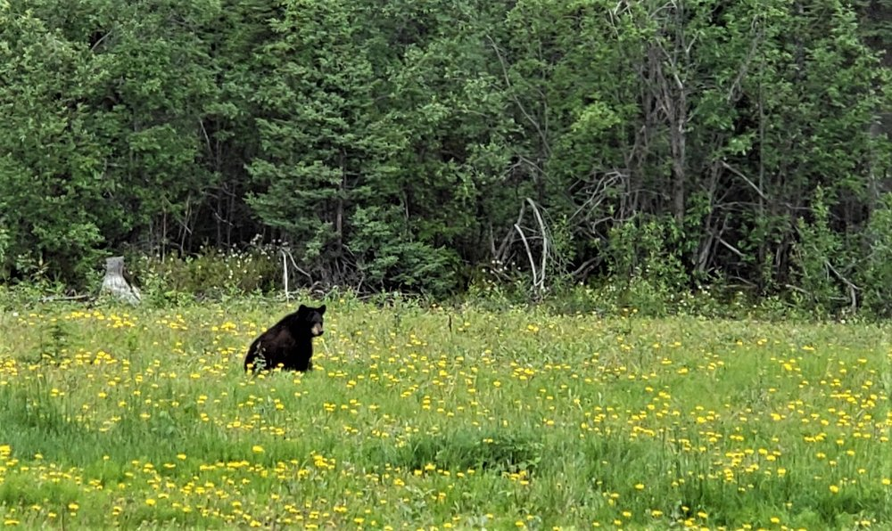Black bear at Meadow Cabin