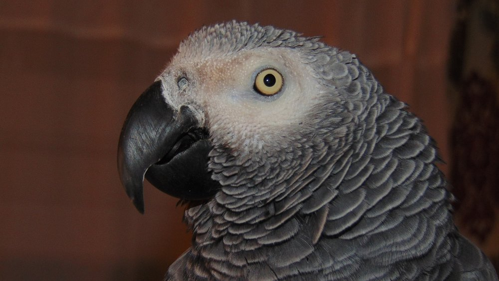 african-grey-2720209_1280-talk to pets.jpg