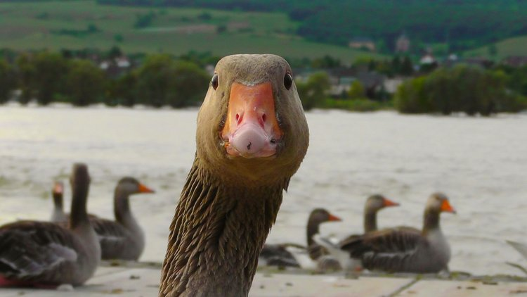 Wellllllll Hello there! What does a goose say?