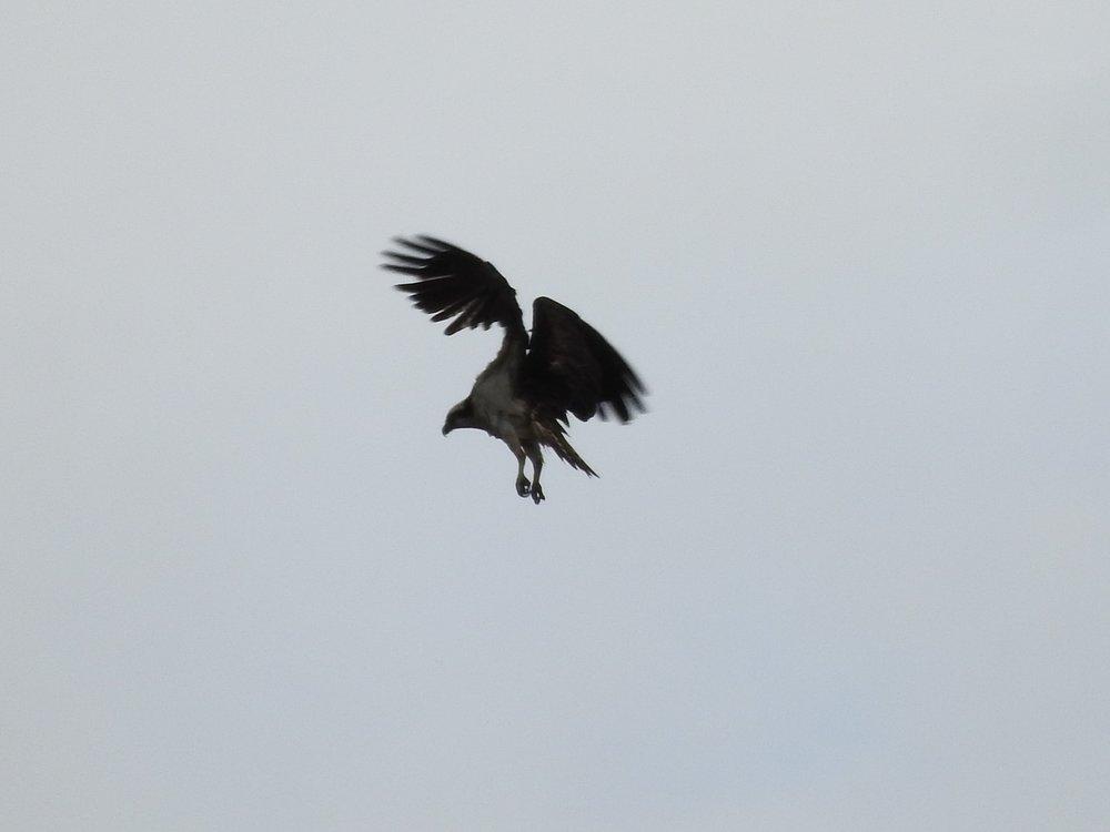 Osprey4.jpg