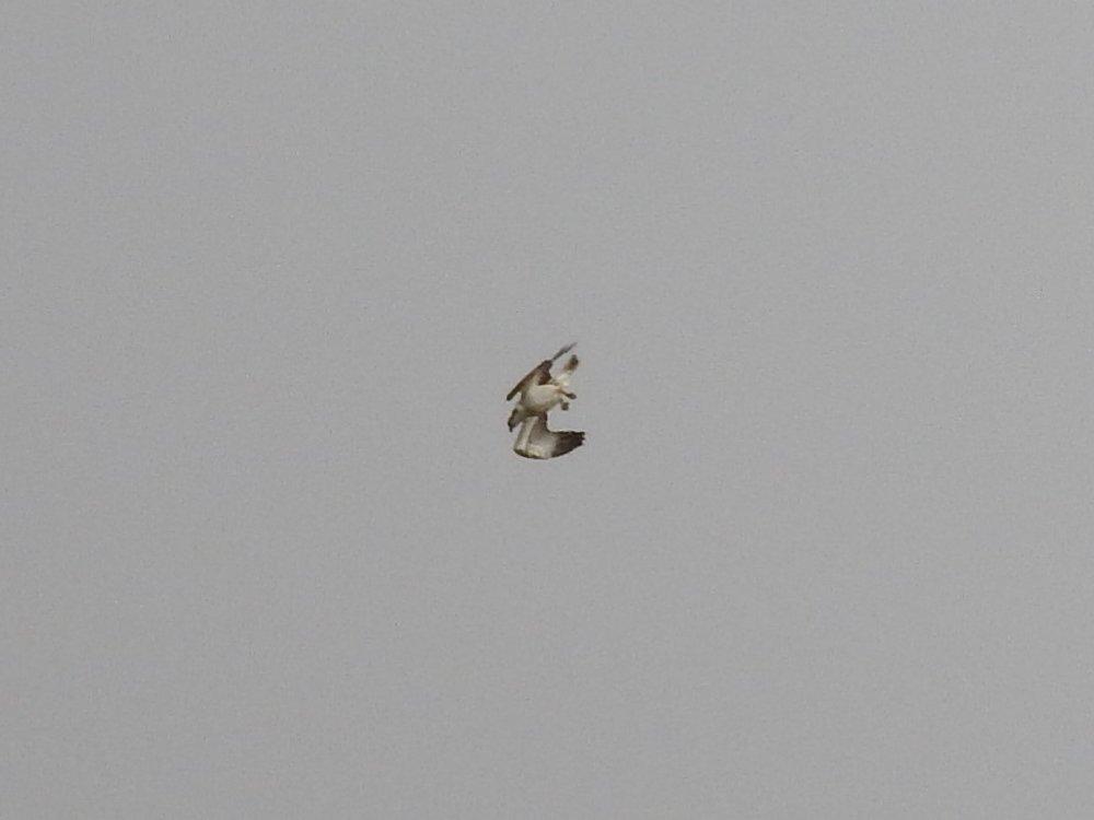 Osprey2.jpg
