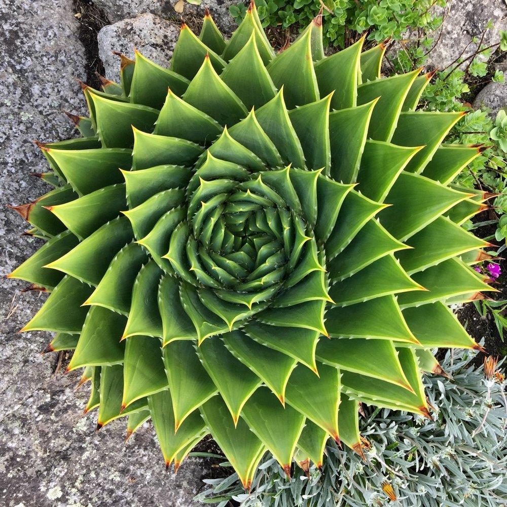 aloe spiral.jpg
