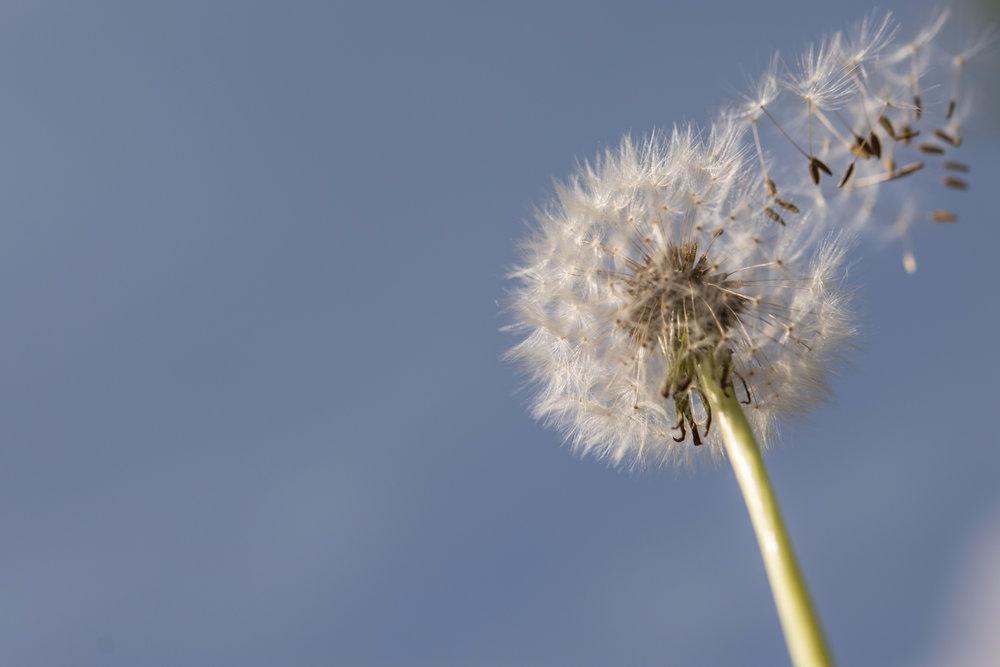 flower-flight-seeds-air-705187-e1514648511446.jpeg