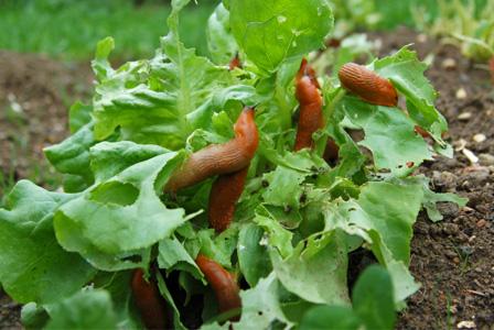garden-slugs