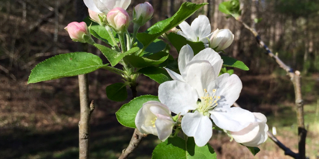 Think about wonderful things like apple blossoms!