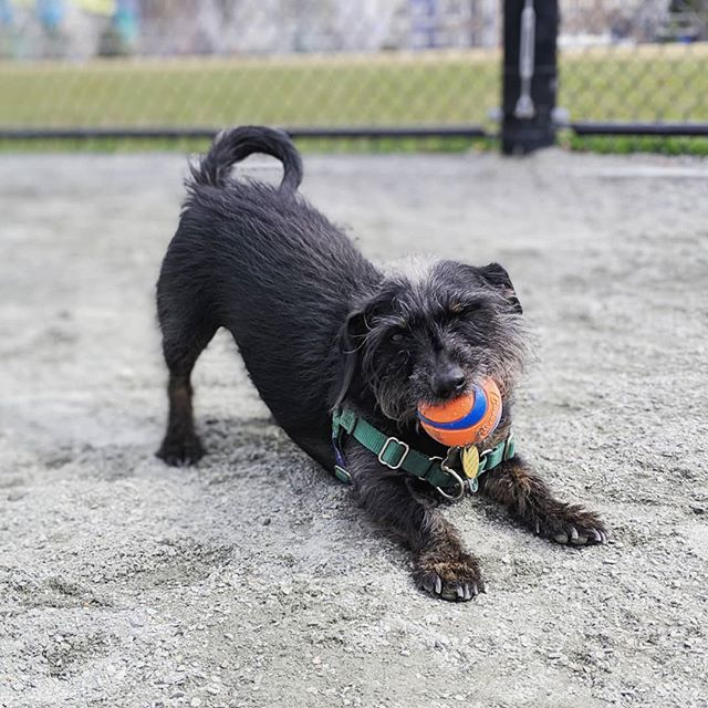 Rocky wants you to know this tennis ball is super cool and you should try to take it from him