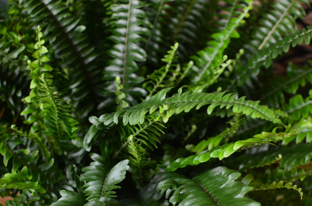 Pilea Plant Shop Boston Fern.jpg