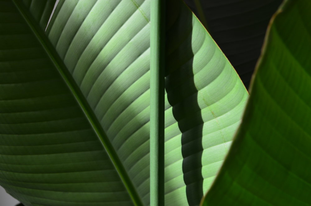 Pilea Plant Shop Strelitzia.jpg