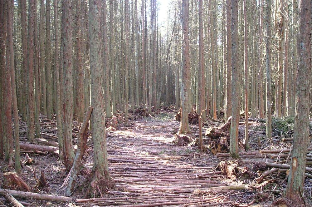 base for corduroy road in cedar thin.jpg