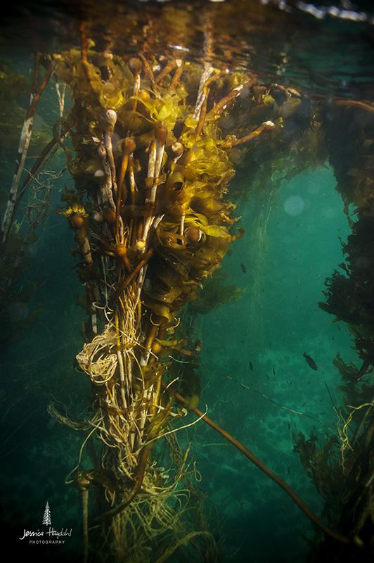 kelp1web
