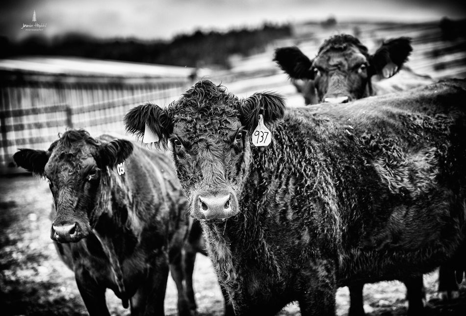 barDNorth_cattle_drive_2015_10web