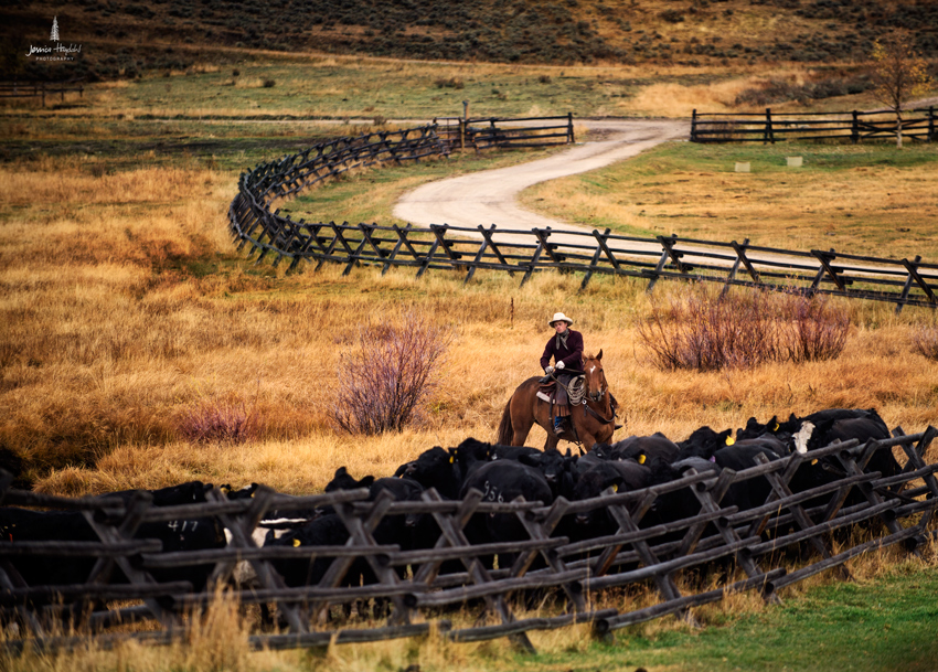 barDNorth_cattle_drive_2015_26web