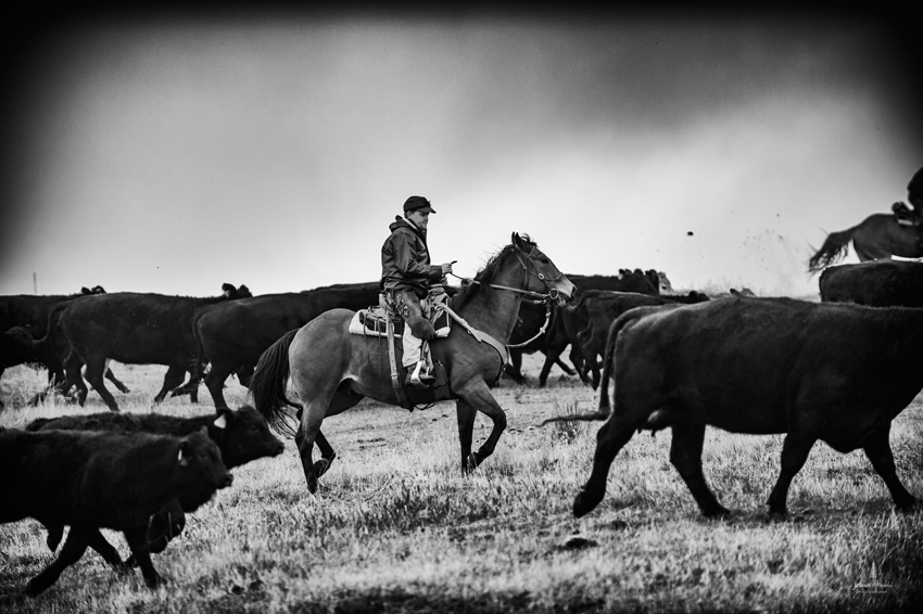 barDNorth_cattle_drive_2015_31web