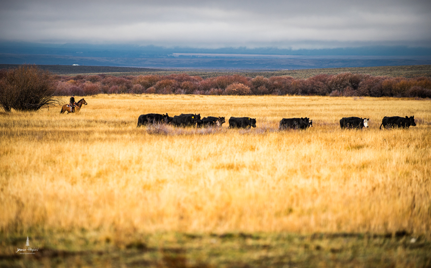barDNorth_cattle_drive_2015_7web