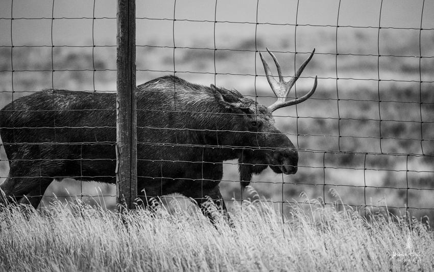 moose_1web