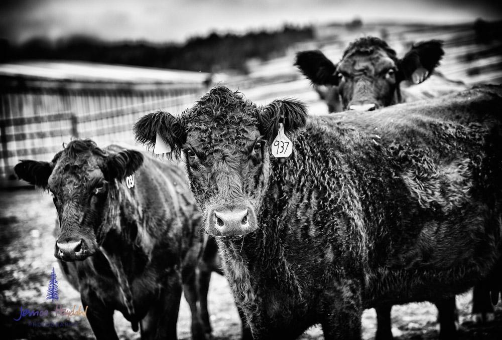 barDNorth_cattle_drive_2015_10