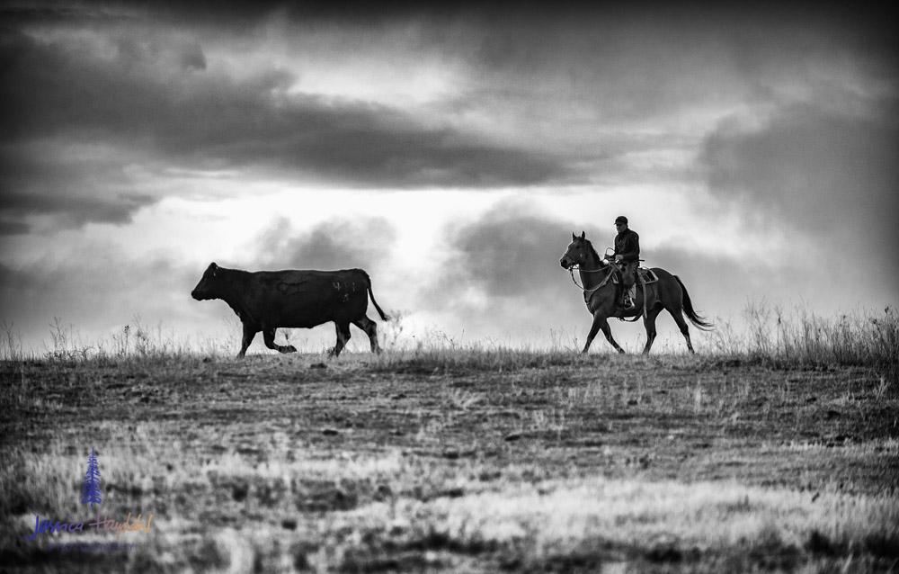 barDNorth_cattle_drive_2015_4