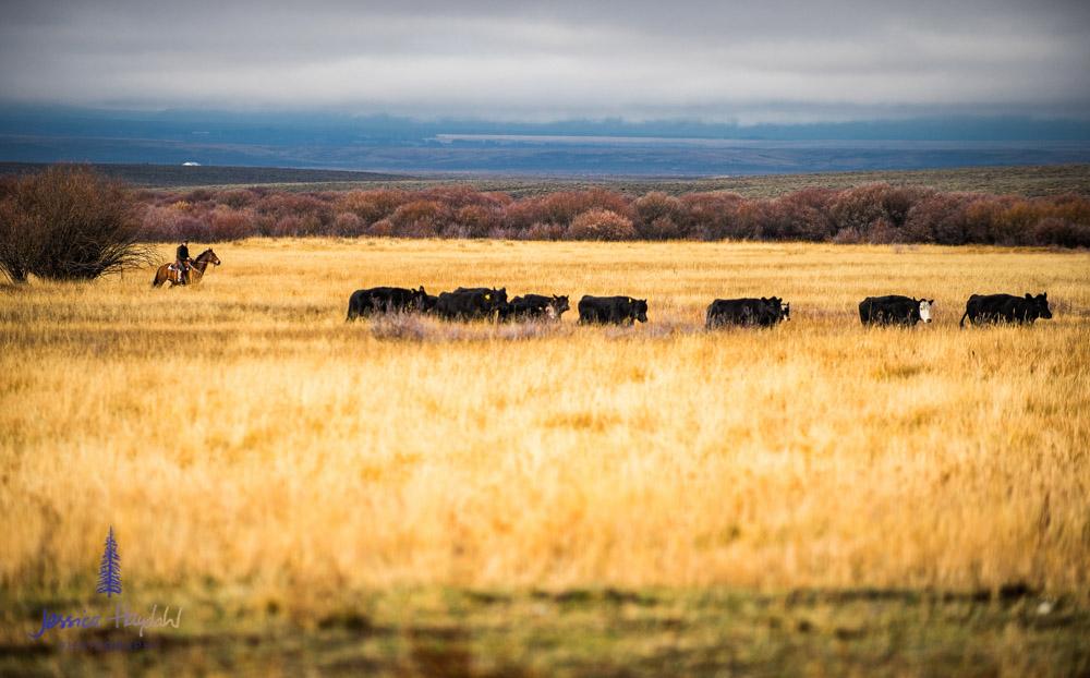 barDNorth_cattle_drive_2015_7