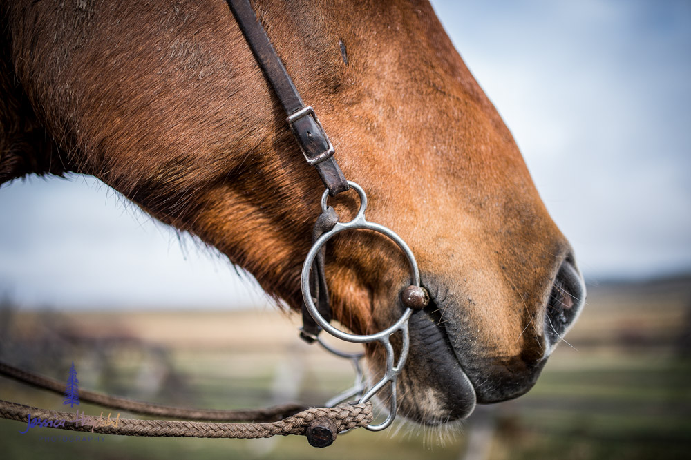 barDNorth_cattle_drive_2015_9
