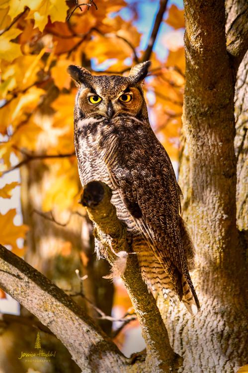 owl_stevensville_2016_1web.jpg