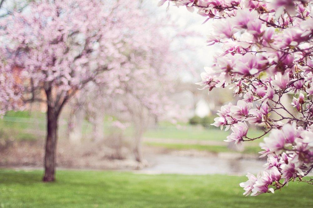 magnolia-trees-springtime-blossoms-spring-38910.jpg