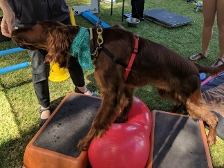 Whether your pup is a pre-school drop out or dux of the class there are some games you can play at home and out and about that will help to improve their stability and awareness of where their legs are. -